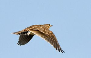 The Skylark Ascending